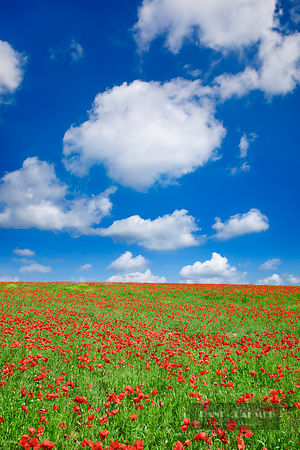 Flower meadow with corn poppies - Europe, Italy, Tuscany, Siena, Val d'Orcia, Pienza, north of - digital