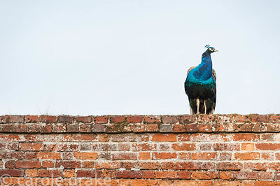 Peacock on top of the wall around the walled garden at Marks Hall Gardens