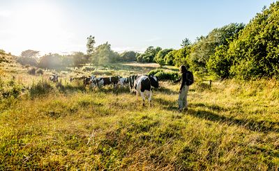 Hiker and cows on Mors, Denmark 2