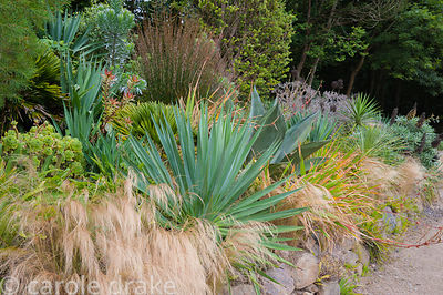 Bank of striking foliage plants including Agave americana, succulents, restios and echiums amongst a mass of Stipa tenuissima