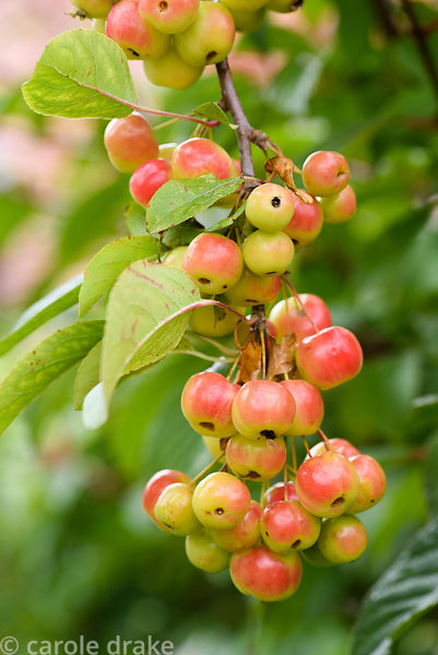 Crab apple fruits in September