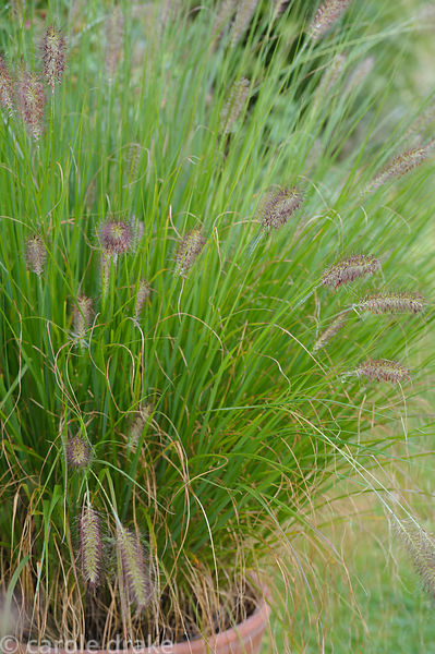 Pennisetum 'Cassian's Choice'