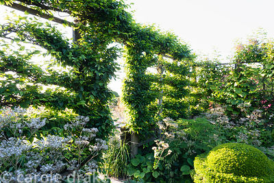 Espaliered hornbeams with Valeriana pyrenaica and clipped box at Sea View, Cornwall in June