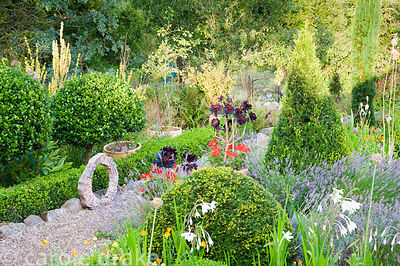 The Rickyard garden features lots of clipped shrubs including yew and holly, interspersed with lavenders, white Gladiolus mur...