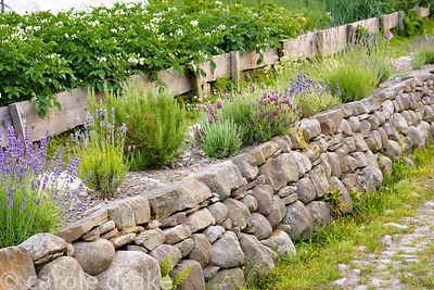 Dry stone retaining wall planted with lavenders at 2 Durnamuck, Little Loch Broom, Wester Ross in July