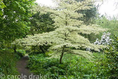 Tiered form of Cornus controversa 'Variegata' in the south garden. Trewidden, Buryas Bridge, Penzance, Cornwall, UK