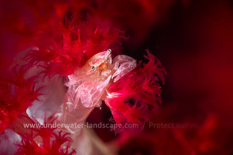 Small crab in its spiny soft coral