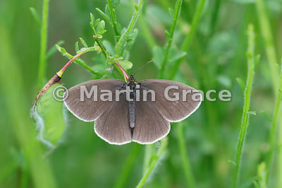 Upper side of typical male Ringlet butterfly (Aphantopus hyperantus) with no rings evident, Cairngorms National Park, Badenoc...