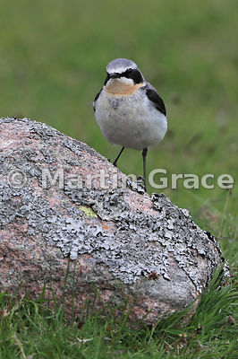 Northern Wheatear male (Oenanthe oenanthe), Glen Tanar, Aberdeenshire, Scotland: alternative edit and interpolated crop of th...