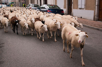 During the autumn transhumance in the Haut Salat, southern France -