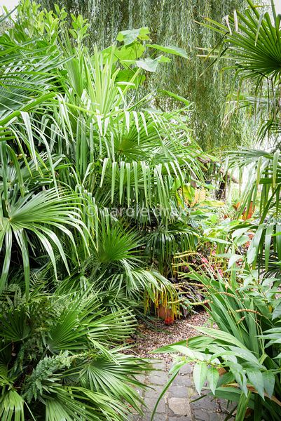 Path fringed with trachycarpus leaves in the exotic garden at Oak Barn, Newark, Notts in September