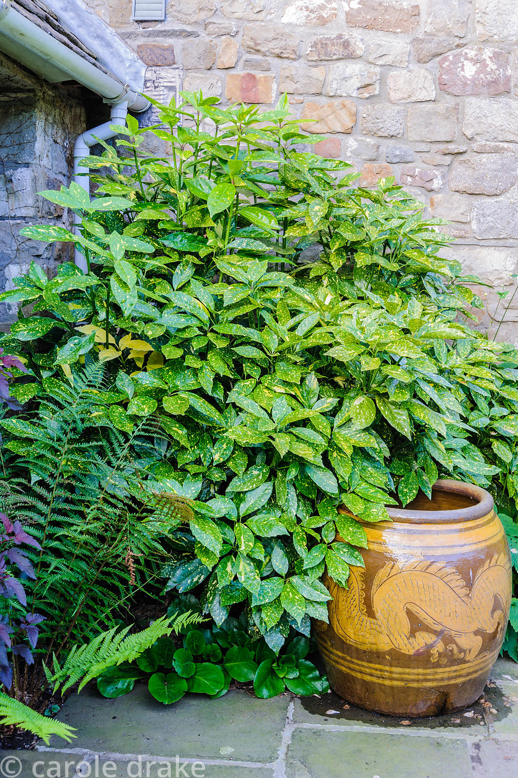 Aucuba japonica 'Crotonifolia', spotted laurel, lights up a shady corner beside a Chinese jar.