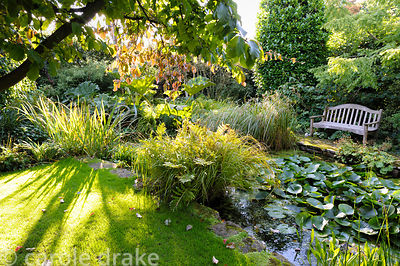 Parrotia persica frames a pond edged with ferns, Gunnera manicata and grasses in the back garden