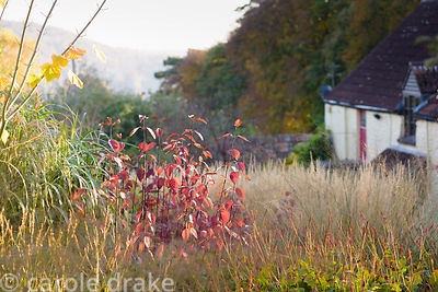 Cornus alba 'Sibirica' catching the evening sun in October at Barn House, Chepstow, Glos with upper slopes of the Wye Valley ...