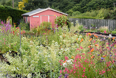 Diascias, polemoniums and geums with white Centrathus ruber 'Albus' behind in the plant sales area at Dove Cottage Nursery & ...
