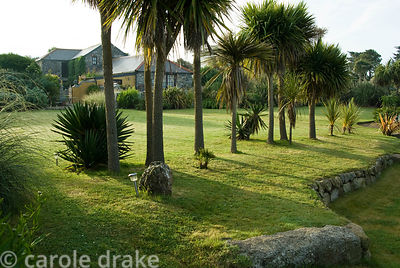Line of tall Cordyline australis, cabbage palms, filters the prevailing winds. Ednovean Farm, Marazion, Cornwall, UK