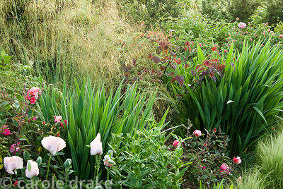 Late summer garden features Stipa gigantea, pale pink oriental poppies and pink Rosa x odorata 'Mutabilis' and crocosmias. Ol...