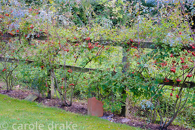 Fence planted with Rosa glauca and clematis. Terracotta tiles are placed over the clematis roots to keep them cool