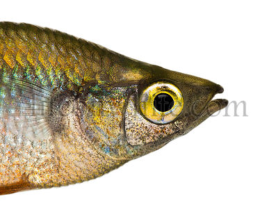 Close-up of an Eastern Rainbowfish\'s profile, Melanotaenia splendida splendida, isolated on white
