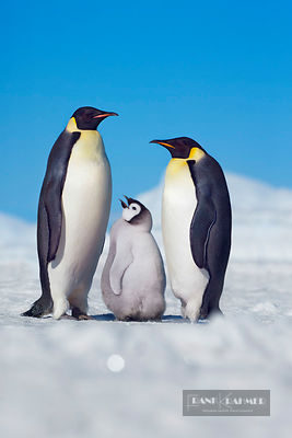 Emperor penguin parents with begging chick (lat. aptenodytes forsteri) - Antarctica, Antarctica, Antarctic Peninsula, Snowhil...