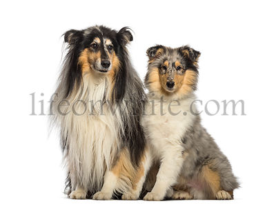 Rough Collie, 11 years old and 4 months old, sitting in front of white background