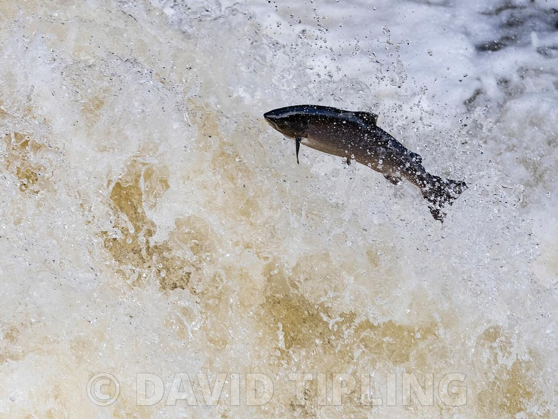 Atlantic Salmon, Salmo salar, migrating up the River Shin a tributary of the River Oykel, leaping the Falls of Shin,  Norther...