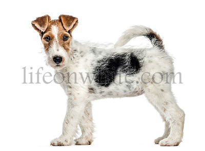 Side view of a Fox terrier dog, standing, isolated on white