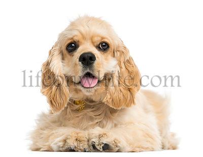 Front view of an American cocker spaniel puppy, 5 months, isolated on white