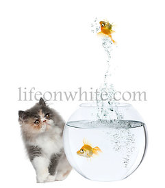Persian Kitten, 3 months old, watching goldfish jump out of fish bowl in front of white background