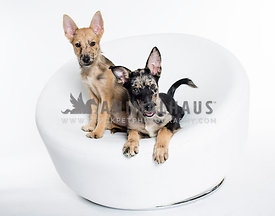 Two unusual spotted shepherd mix puppies pose on a white chair on a white studio background