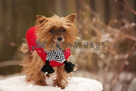 Yorkshire terrier wearing a scarf and red coat