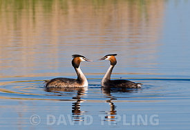 Great crested Grebes Podiceps cristatus pair displaying Norfolk spring