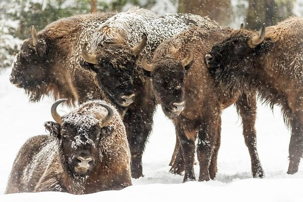 Wisent Winter I