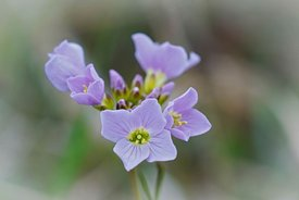 Soft closeup of the pink flower of cuckoo flower, lady's smock, mayflower or milkmaids,  Cardamine pratensis