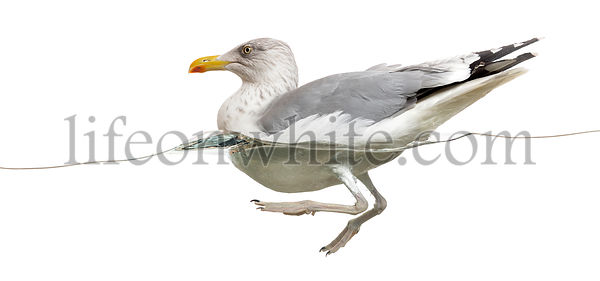 European Herring Gull floating in the water, Larus argentatus, isolated on white