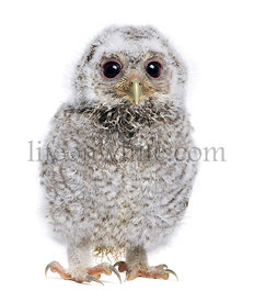 baby Little Owl - Athene noctua (4 weeks old)