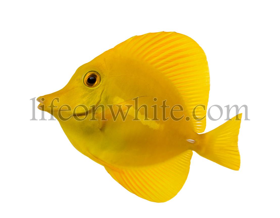Side view of a Yellow Tang, Zebrasoma flavescens, isolated on white