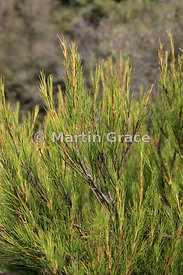 Turpentine Bush (Turpentine Scrub) (Dracophyllum uniflorum), Governor's Bush Track, Mount Cook National Park, Canterbury, Sou...
