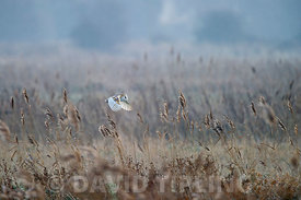 Barn Owl hunts over a meadow North Norfolk UK