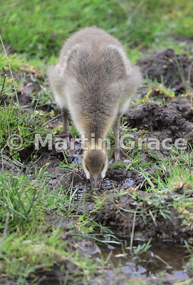 Greylag gosling (Anser anser) drinking from a puddle in a wet meadow, Badenoch & Strathspey, Highlands of Scotland