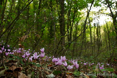 070911-21_Majella_062 Cyclamen in woodlands near Castelli, a town in the province of L'Aquila, Abruzzo, Italy.