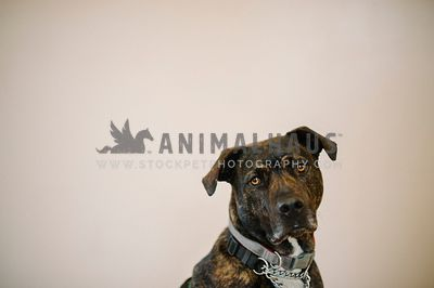 A headshot of a large breed dog with two collars on in a studio