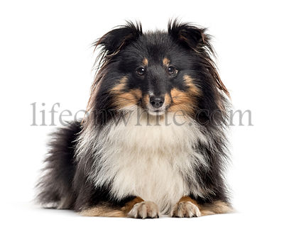 Shetland Sheepdog lying down (1.5 years old)