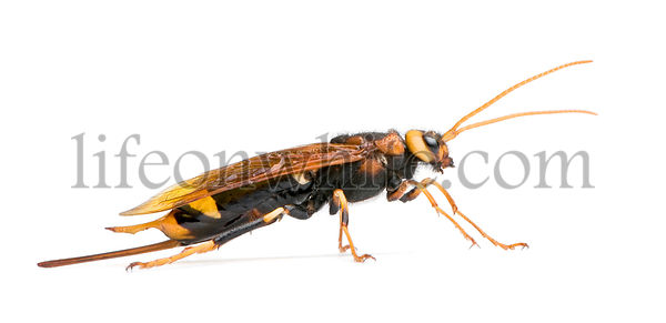 Horntail wasp, Urocerus gigas, in front of white background