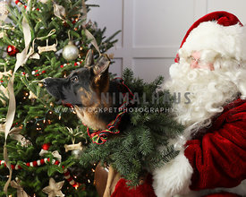Shepherd sits on Santa's lap looking at light with Christmas tree in background