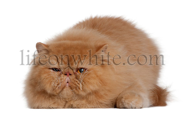 Persian cat, 2 years old, lying in front of white background