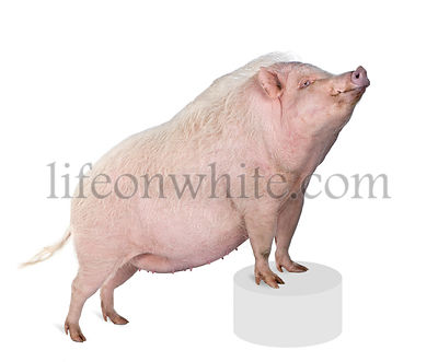 Portrait of Gottingen minipig standing on pedestal against white background, studio shot