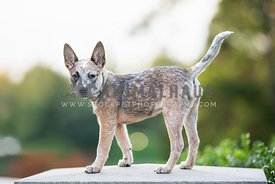 full body heeler puppy standing on stone in the park