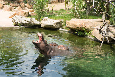 Hippopotame-Zooparc-de-Beauval_Mir-Photo-ADT41_(7)