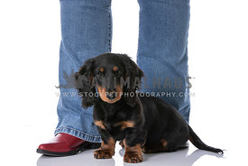 Long Haired Black and Tan Dachshund Pupply Sitting on Red Boots